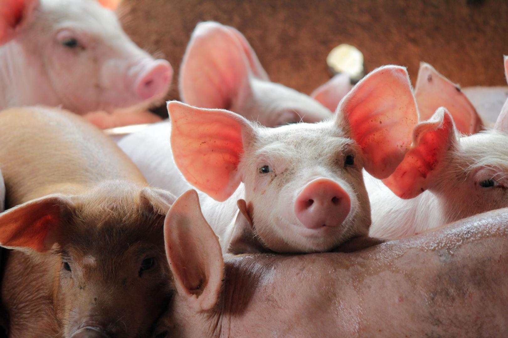 ligų sąnarių kiaules ir jų gydymas vedos balzamas sąnarių